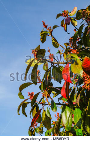 Photinia fraseri, Red Robin, ornamental, tree, shrub, showing red-tipped leaves in early April, Germany. - Stock Photo