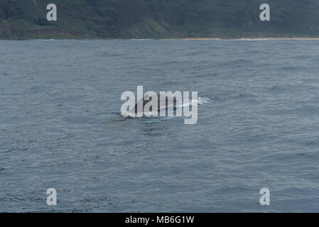 Whale watching at Napali Coast on Kauai, Hawaii, in winter - Stock Photo