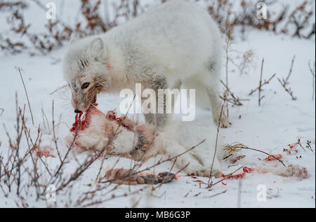 Cannibalism. Arctic Fox eating another Arctic Fox. - Stock Photo