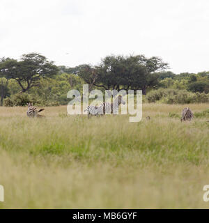 Zebra in Hwange National Park in Zimbabwe.  Zebras are commonly sighted in the park. - Stock Photo