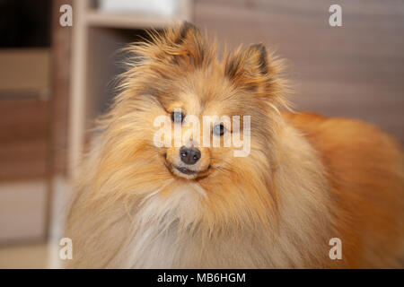 a shetland sheepdog looks in the camera - Stock Photo