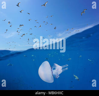 Mediterranean gulls flying in the sky and fishes with a barrel jellyfish underwater sea, split view above and below water surface, Spain, Costa Brava - Stock Photo