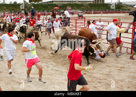 A man falls between two steers and gets trampled running with the bulls at The Great Bull Run on October 19, 2013 in Conyers, GA. He walked away. - Stock Photo