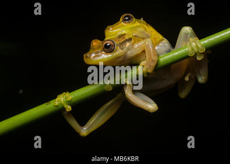 A pair of yellow snouted treefrogs (Scinax sp.) in amplexus in tropical Ecuador.  By morning these two will have deposited their eggs in the water. - Stock Photo