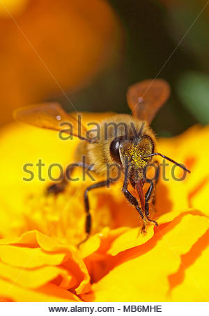 European Honey Bee, Western Honey Bee (Apis mellifera, Apis mellifica), collecting nectar of a blossom, Germany, Europe - Stock Photo