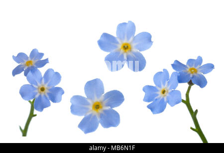 Forget-me-nots isolated on white background. - Stock Photo