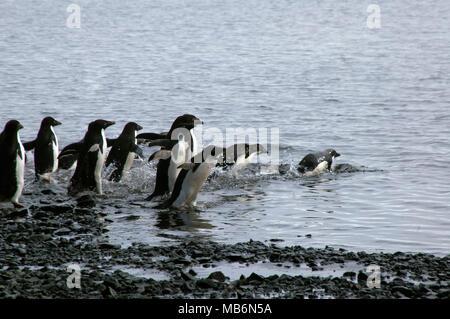 Devil Island Antarctic, group of adelie penguins entering water - Stock Photo
