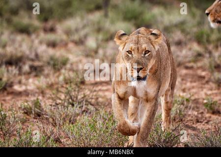 lioness, Panthera leo, roaming through landscape of the Kalahari,, Kgalagadi Transfrontier Park, South Africa, Africa - Stock Photo