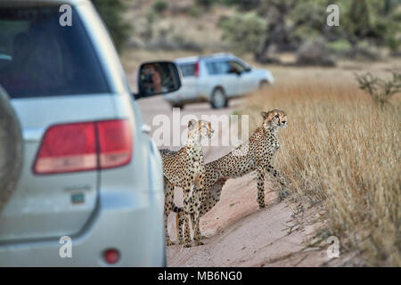 Cheetah with older cub on the prowl hiding behind a car, Acinonyx jubatus, Kgalagadi Transfrontier Park Stock Photo