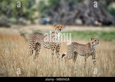 Cheetah with older cub on the prowl, Acinonyx jubatus, Kgalagadi Transfrontier Park Stock Photo