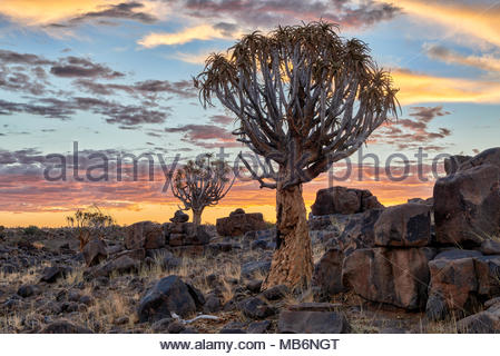 sun set at Quiver tree forest, Aloe dichotoma, Farm Garas, Mesosaurus Fossil Site, Keetmanshoop, Namibia, Africa - Stock Photo