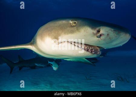 Lemon shark around the Bahamas in Tiger Beach - Stock Photo