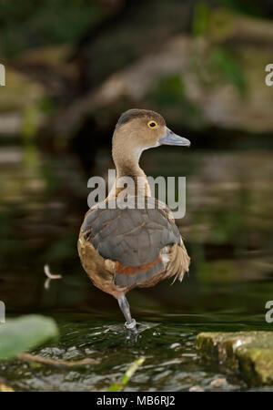 Wandering Whistling Duck (dendrocygna arcuata), UK - Stock Photo