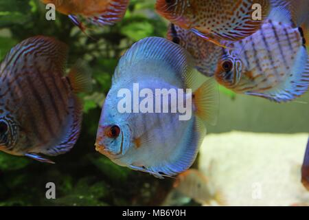Blue discus and colorful discus fish (Symphysodon aequifasciatus) in aquarium - Stock Photo