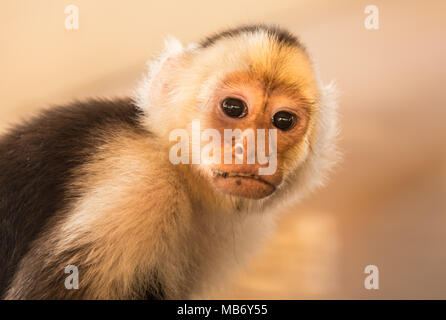 Cute Capuchin Monkey Looking At Camera - Stock Photo