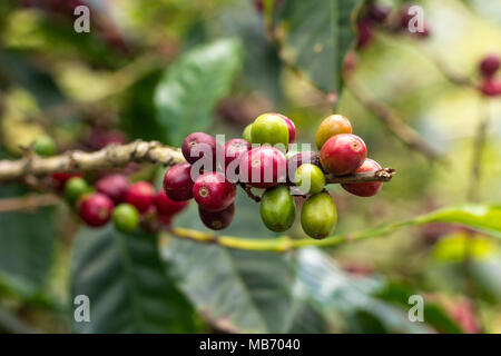 Clusters of coffee beans on branches in Finca Lerida coffee plantation in Boquete, Panama - Stock Photo