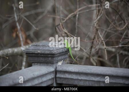 Green anole (Anolis carolinensis) running across a fence post - Stock Photo