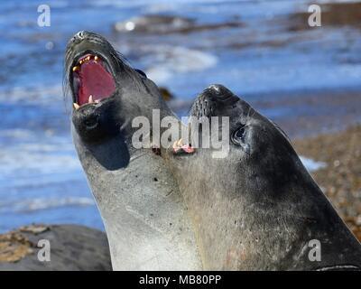 Southern elephant seals (Mirounga leonina), disputing, hierarchy, Isla Escondida, Chubut, Argentina - Stock Photo