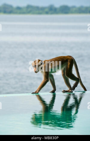 Vertical close up of a wild Toque macaque at Parakrama Samudra reservoir in Polonnaruwa, Sri Lanka. - Stock Photo