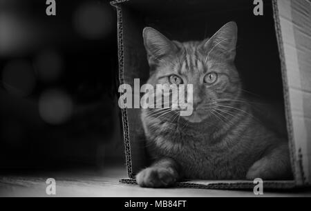 Tabby cat sitting in a cardboard box and look to the camera. - Stock Photo