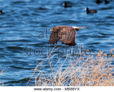 Northern Harrier, Circus cyaneus, female, Marsh hawk, flying in Arizona, USA - Stock Photo