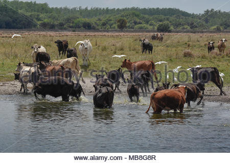 Cows or Cattle cooling off in a watering hole. - Stock Photo