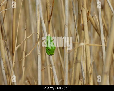 Single small green European tree frog - Hyla arborea on the old reed - Stock Photo