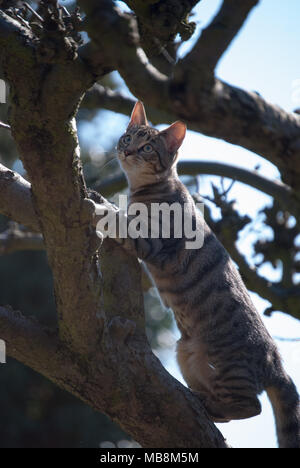 Bengal cat climbing a bare leafless tree.  Cat standing upright with the sun on her.  Very beautiful young cat. Stripy, shiny coat.Close up picture.ca - Stock Photo