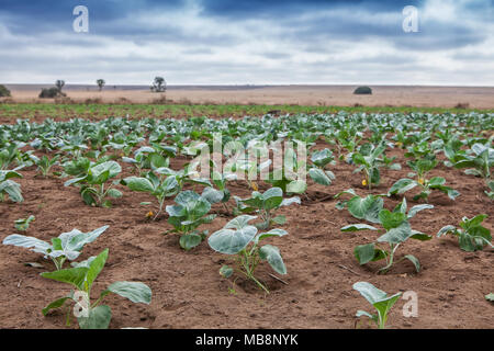 Field of African agriculture in Cabinda. Angola. - Stock Photo