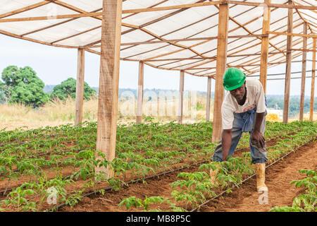 CABINDA/ANGOLA - 09JUN2010 - farmer working in a greenhouse. - Stock Photo