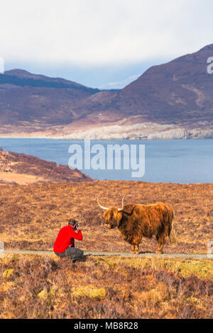 Tourist taking photo of Highland cattle cow in landscape on Isle of Skye, Scotland, UK in March - Stock Photo