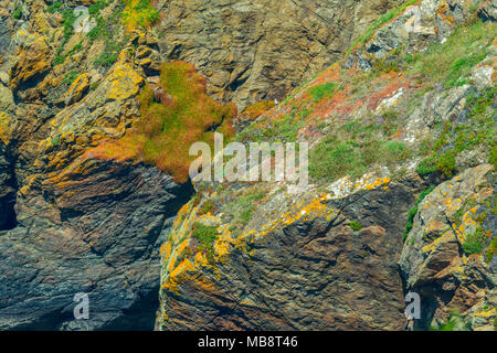 Colourful plants, moss and lichen growing on the rocks around Lizard Point in Cornwall - Stock Photo
