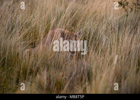 Adult female Patagonian Puma sitting low in tall grass as she stalks potential prey. - Stock Photo