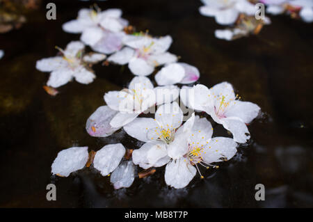 Tiny white Cherry Blossoms float in a stream after falling from the tree in Namsan Park in Seoul, South Korea in the Spring. - Stock Photo