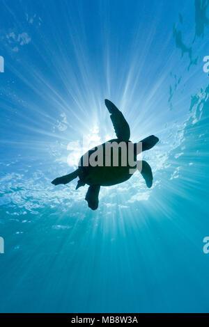 Green sea turtle and sun rays - Stock Photo