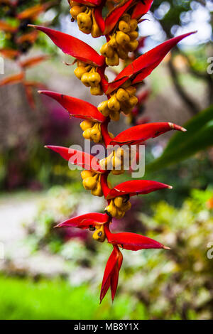 Heliconia collinsiana var collinsiana, a pendent heliconia in fruit from Ecuador - Stock Photo