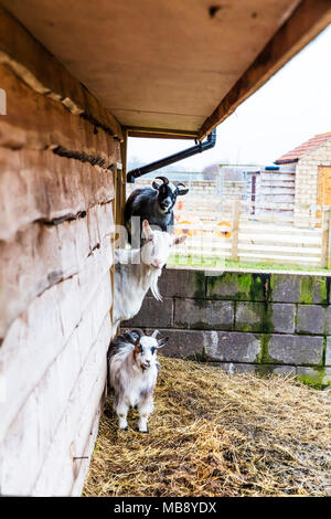 Goats, farm goats, Billy goats, Capra aegagrus hircus, three goats, goat, mountain goats, goats looking, cute goat, cute goats, farm animals, - Stock Photo
