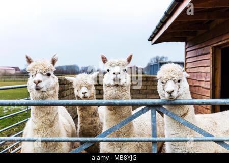 alpaca farm, Alpacas, Vicugna pacos, domesticated species of South American camelid, Alpaca, alpacas looking over fence, cute alpacas, cute animals, - Stock Photo