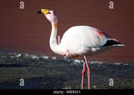 James flamingo closeup. Laguna Colorada. Eduardo Avaroa Andean Fauna National Reserve. Bolivia - Stock Photo