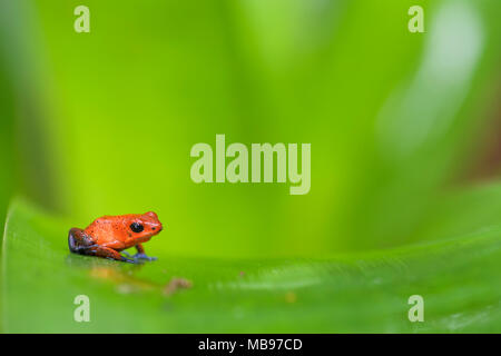 Red Poison Dart Frog - Oophaga pumilio, beautiful red blue legged frog from Cental America forest, Costa Rica. - Stock Photo