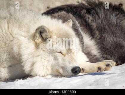 A sleeping gray wolf (Canis lupus) at the Saskatoon Forestry Farm Park and Zoo in Saskatoon, Saskatchewan, Canada.