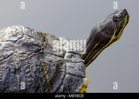 closeup portrait of tortoise on a dark background - Stock Photo