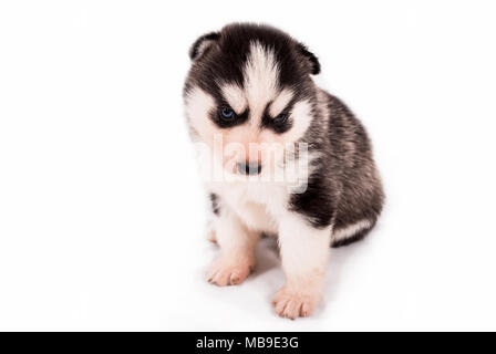 Cute baby puppy Siberian Husky posing on a white background - Stock Photo