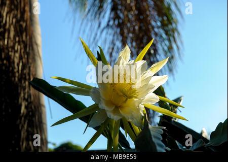 Dragon fruit flower (Hylocereus sp) - Stock Photo