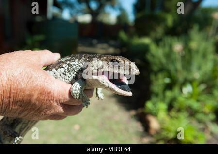 A healthy adult Bobtail lizard (Tiliqua rugosa), found in a suburban Western Australian garden - Stock Photo