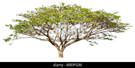isolated big tree on white background, high quality single tree for print and web design - Stock Photo