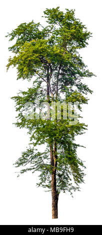 isolated tree on white background, hight quality of single tree for print and webpage use - Stock Photo