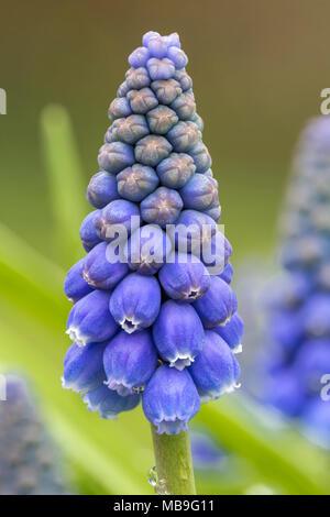 Armenian Grape Hyacinth, Muscari armeniacum, Europe, in cultivation - Stock Photo