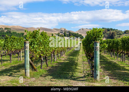 new zealand Hawkes bay new zealand bunches of grapes on vines in rows in a vineyard in Hawkes bay Napier New zealand North island NZ - Stock Photo