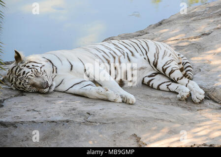 A white Bengal tiger (Panthera tigris tigris) at Cango Wildlife Ranch - Stock Photo